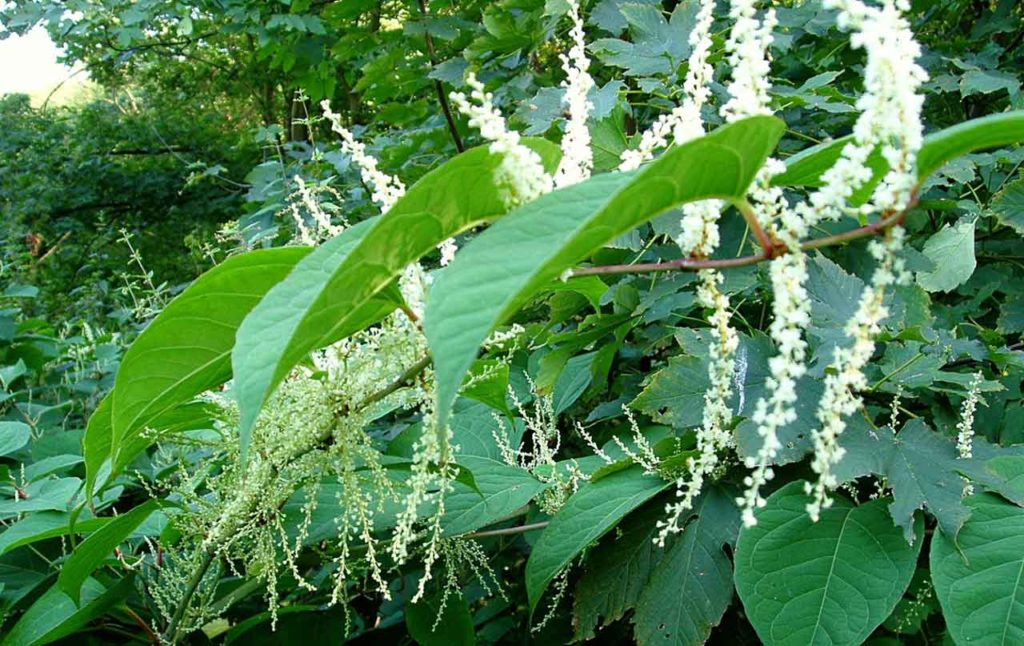 header-knotweed-control